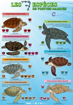 7 espèces de tortues marines