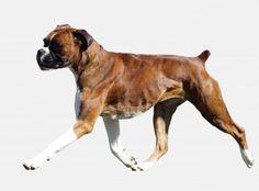 Google Image Result for http://www.aparsai.ca/english/wp-content/uploads/2009/11/boxer_dog.jpg