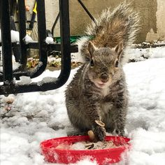 When the show gets too deep I put out a nut plate for them #aww #Cutesquirrels #squirrel #boopthesnoot #cuddle #fluffy #animals #aww #socute #derp #cute #bestfriend #itssofluffy #rodents #squirrelsofpinterest