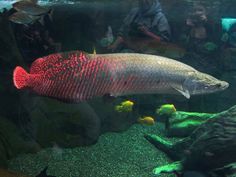 The beautiful 7-foot Amazonian Arapaima. This fish is normally not fatal to humans, but can launch its giant self out of the water at amazing speed like a torpedo. A strike to the head could probably kill, and a strike at all will cause car-crash-force injuries.