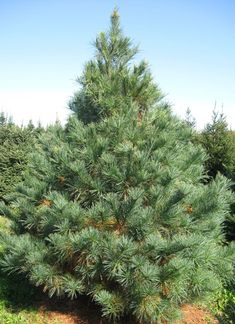 Pine Trees, How to Eat One  http://preparednessadvice.com/edible_plants/pine-trees-how-to-eat-one/#.VdS0w_lVhBc