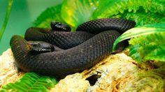 Mamba negra, serpiente venenosa