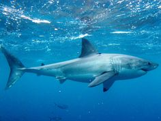 Great White Shark Great White Shark is very common marine animals and found in oceans around the world. They are very large in size and can grow up to 6.4 metres and weigh around 3324 kilograms.
