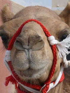 I want camel too. ♡