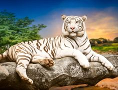 White Bengal Tiger jigsaw puzzle in Puzzle of the Day puzzles on TheJigsawPuzzles.com