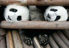 Panda si mignon qu'il en a la grosse tête ?