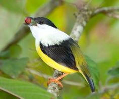 Wildlife of the Rainforest! [licensed for non-commercial use only] / Manakin