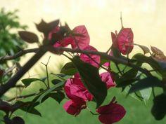Buganvílias. «Naturezando»