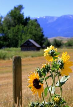 Sunflowers lined this remote gravel country road near Red Lodge, Montana.