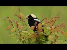 Here's the bobolink singing - many of them nest by my house:)