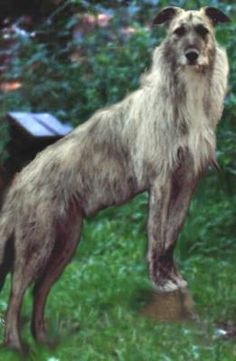 Lurcher What you look'n at. Puppies And Kitties, Lurcher, Irish Wolfhound, Large Dogs, Big Dogs, Dog Life, I Love Dogs, Dog Breeds, Terrier