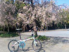 Copyright © chrome 様 / boardwalk 2012モデル / 八重桜がキレイに咲いていたので良い感じに撮れました。バイクは451化し、フロントフォークをカーボン化、それに伴いブレーキをディスク化しました。