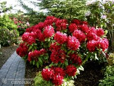 Rhododendron Francesca - True Red Bloom - Will Grow to Four Feet - Container Size Plant - Hardy t Container Size, Container Plants, True Red, Deep Purple, Survival, Bloom, This Or That Questions, Landscape, Etsy