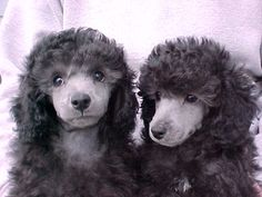 Silver Poodle Puppies