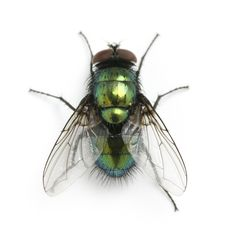 flying insects - Google Search - 06/10/2015