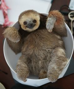 Conservationist shares home with 200 sloths! Don't miss all the sloth photos below the article. #animals #sloths