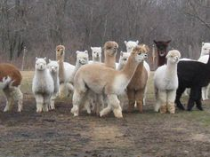 Alpaca's in Maine