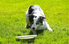 Border Collie #discdog