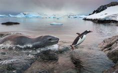 A leopard seal chases a Gentoo penguin onto the beach on Cuverville Island, Antarctica. The predatory seal struck with ferocious speed but the penguin flapped across the shoreline, with the hungry seal in hot pursuit...