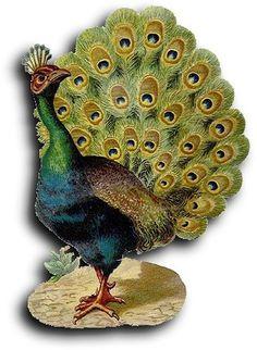 Victorian scrap: Peacock