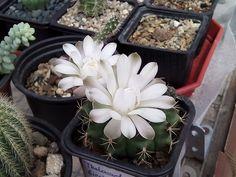 Gymnocalycium ssp.