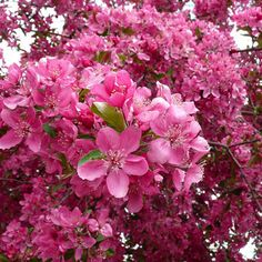 Azaleas!  Hot pink.