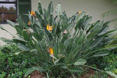 bird of paradise plant - Google Search