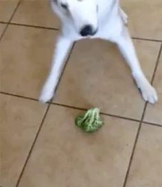 Doggo battles the broggoli (why you do me the betray) @cabbagecatmemes
