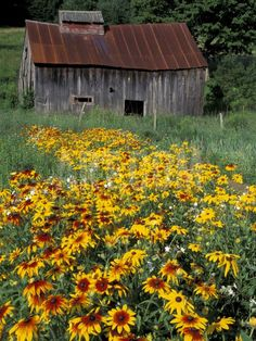 Old Barn and field of Black Eyed Susan flowers, Vermont ~ by Darrell Gulin Farm Barn, Old Farm, Country Barns, Country Life, Country Living, Country Roads, Country Charm, Usa Country, Country Estate
