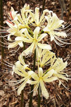 Lycoris x houdyshelii 'Caldwell's Original'
