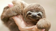 This sloth is smiling because he's remembering a time when he was just a little baby and his mom would hold him while pointing out interesting animals walking by below the trees. Description from socioscene.com. I searched for this on bing.com/images
