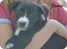 Southern, NH - Labrador Retriever/Terrier (Unknown Type, Medium) Mix. Meet Jamie--see the video!, a puppy for adoption. http://www.adoptapet.com/pet/10730840-southern-new-hampshire-labrador-retriever-mix