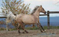 Quarter Horse stallion Hollywood Dolby