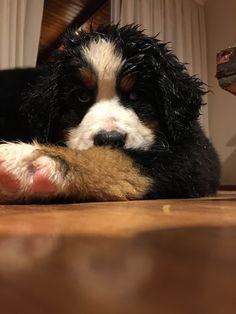 Bernese Mountain, Mountain Dogs, Dogs Of The World, Cute Baby Animals, Super, Cute Babies, Board, Factory Farming, Bern