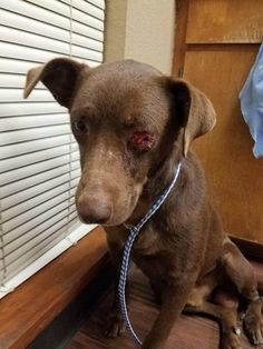 Leo was a victim of torture. The stray dog's eye was intentionally removed by an unknown heartless monster. Just two days ago, the young Labrador retriever was found wandering the streets in a rural Texas town bleeding from his face and his eye. Luckily for Leo, Animal Control picked him up; who can even imagine …