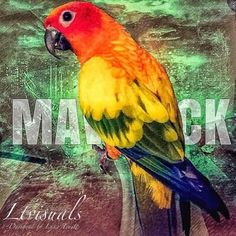 Maverick the Parrot (@MaverickParrot) | Twitter