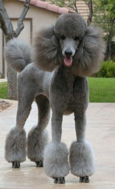 Standard Poodle - love this. I can't wait to get a poodle someday! Poodle Grooming, Pet Grooming, Pet Dogs, Dog Cat, Pets, Weiner Dogs, Doggies, Cortes Poodle, Silver Poodle