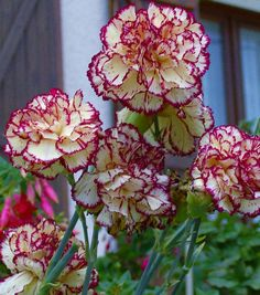 Beautiful carnations. Love the perfume as well.