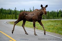 Moose at Coal Mine Road, AK  Photo by Sebastain Saarloos