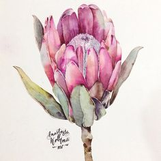 Beautiful - loose colour but fine detail. Probably too advanced for what I can achieve! Flor Protea, Protea Art, Protea Flower, Art Floral, Floral Drawing, Botanical Drawings, Botanical Art, Watercolor Flowers, Watercolor Paintings