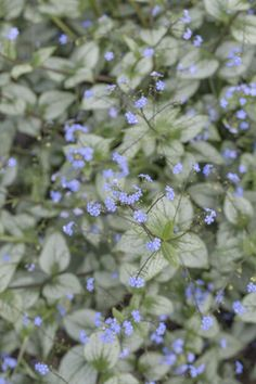 Brunnera Shade Plants, Garden, Silver, Shadow Plants, Money, Garten, Lawn And Garden, Outdoor, Tuin