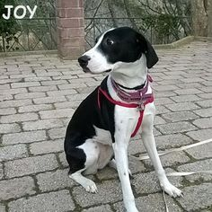 "When Dad says to me ""Sit and stay"" I'm always listening.  Always!! 🐾🐾🐶 Follow JOY at her Facebook page for many more photos and videos:  https://www.facebook.com/JOYMixedBreedGirl/  #dog #instagramdogs #ilovemydog #instapuppy #dogfamily #doggie #ilovemypet #dogofinstagram #happydog #dogface #dogsofig #dogselfie #doglovers #dogsofinstaworld #petstagram #doglover  #petlover #instadog #dailypawwoof #happydog_feature #dogsubmit"