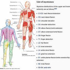 デルマトーム(マイオトーム)と脊椎の関係  The relationship between #myotome  #dermatome and #spine.  背骨は背中の骨だけと思いがちですが背骨は正式には脊柱といい脊椎といって一個一個番号まであり頚椎0番という環椎(実は蝶形骨含む)から尾骨までありますそして脊椎には神経や動脈などが通り体の調子を整えます  神経学的にデルマトーム(皮膚節)マイオトームという分節によって分けておりそれぞれ体のどこの領域どんな役割があるか決まっています  カイロプラクティックは脊柱を調整し体調子を整えてくれます  #trigerpoint  #pain  #トリガーポイント #マッサージ #カイロプラクティック #関連痛 #筋肉 #メンテナンス #コンディショニング #痺れ #筋骨格系 #トレーニング #筋膜リリース #筋トレ #パーソナル #ボディビルディング #ボディメイク #肉体改造 #筋肉 #マッチョ #ワークアウト #muscle  #姿勢 #chiropractic #新橋 #大門 #御成門 #浜松町