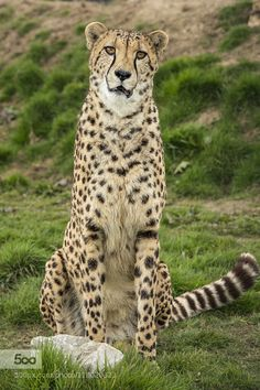 Cheetah by colinlangford1. For more photos: http://photos-cats-kittens.tumblr.com @go4fotos