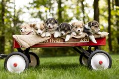 💕😊✨ We are pleased to introduce to you our adorable #WelshCorgi puppies! They have developed fun, outgoing personalities, and love playtime in the outdoors. #Corgi #LancasterPuppies www.LancasterPuppies.com Corgi Puppies For Sale, Pembroke Welsh Corgi Puppies, Puppy Quotes, Lancaster Puppies, Dundee, Outdoors, Cute, Kawaii, Outdoor Rooms