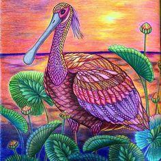 Colorido lindíssimo! @Regrann from @deanna.t.au -  #spoonerbill #bird #blue #purple #pink #orange #red #sunsetcolours #adultcoloringbook #colouring #coloring #milliemarotta #tropicalwonderland #contrast #vibrant #artecomoterapia #lapisdecor #gelpen #pencils #felttip #paraisotropical #coloriage #blending #shadeandlight #prismacolor  #Regrann