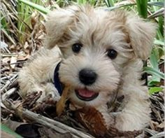Schnoodle. Took a dog breed selector quiz and this little guy was my result :) medium to large dog, no shedding, running companion, good breed for first time dog owners.