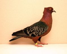 Archangel Pigeon | Pet Pigeon, Dove Pigeon, Pigeon Pictures, Animal Pictures, Animals And Pets, Cute Animals, Create An Animal, Pigeon Breeds, Racing Pigeons