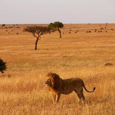 The golden colours of the Mara on safari at Elephant Pepper Camp #safari #bigcats #wilderness #wildlife #africa #kenya