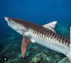 : Shark bites man during evening swim on central Queensland coast Underwater Creatures, Underwater Life, Ocean Creatures, All Sharks, Types Of Sharks, Shark Week, Orcas, Planeta Animal, Shark Photos